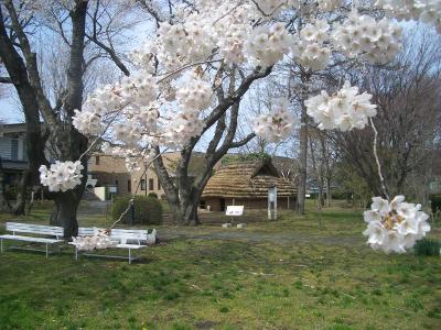 桜の花と竪穴住居(縄文学習館にて)